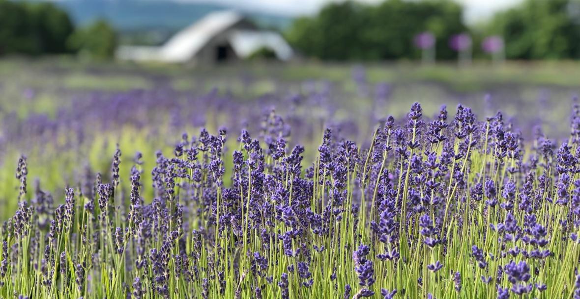 lavender-field